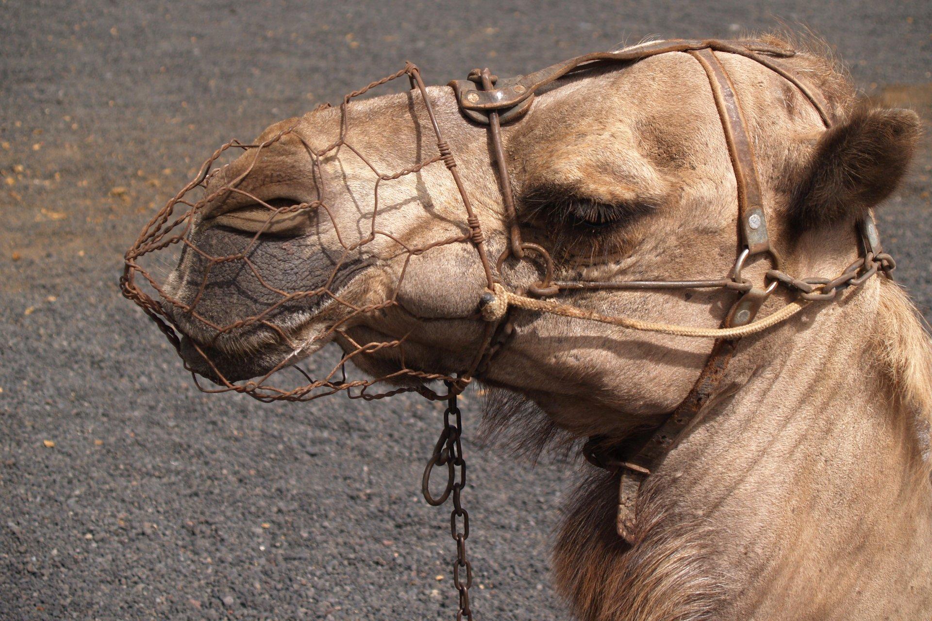 Camel in Lanzarote