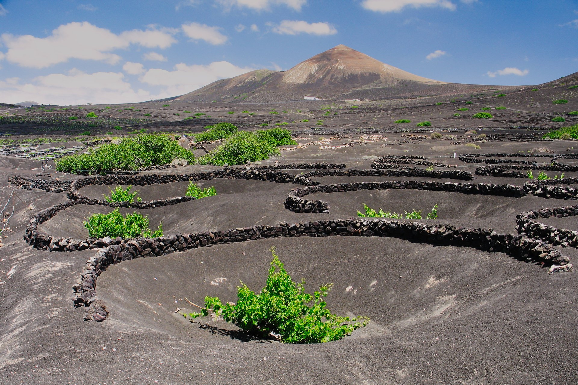 A vine growing inside a pit, protected by a Stone-wall 'Zoco' in La Geria, Lanzarote.